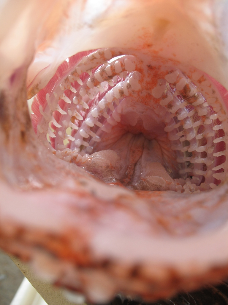 Lion Fish teeth | NOAA Teacher at Sea Blog