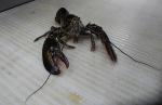 Lobster (Nephropidae)