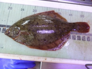 Winter flounder - a rare left-eyed winter flounder