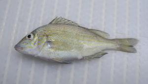 Pigfish (Orthopristis chrysoptera)