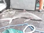 Sand tiger shark (Carcharias taurus)