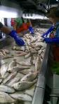 Sorting Croakers and Weakfish