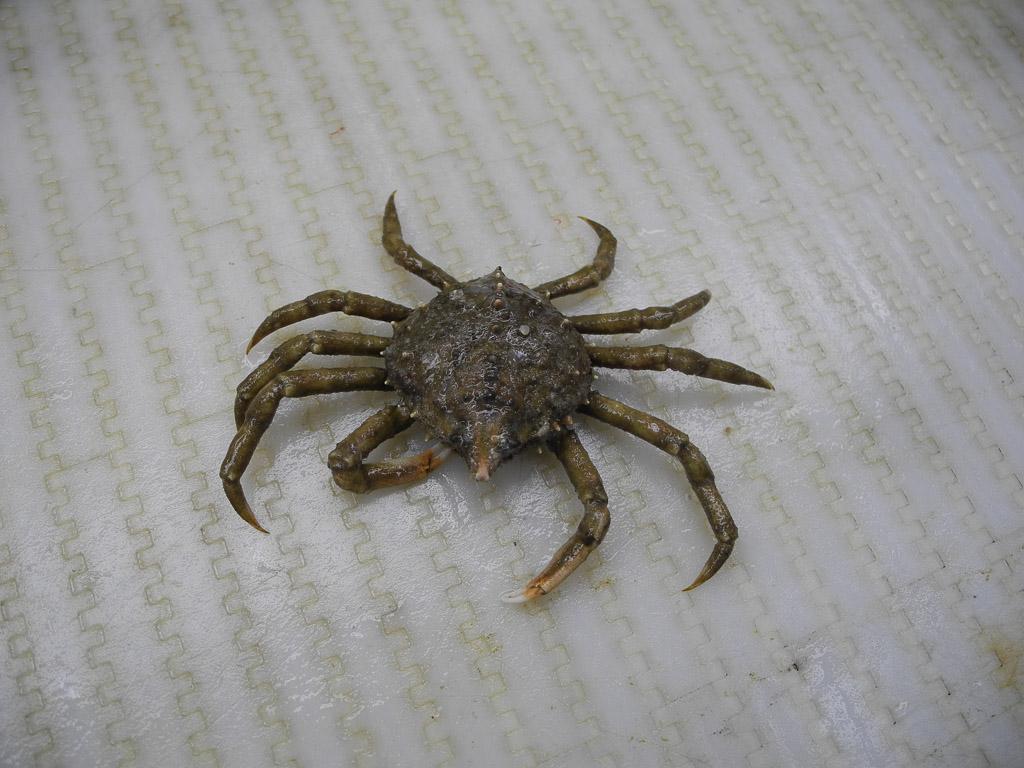 Spider crab - photo#33