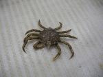 Spider Crab (Majoidea)