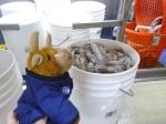 Toro watching the squid bucket move along the conveyor belt.