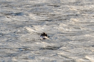 Sea otter (Enhydra lutris) sighting.