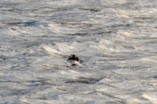 Sea otter (Enhydra lutris) sighting.