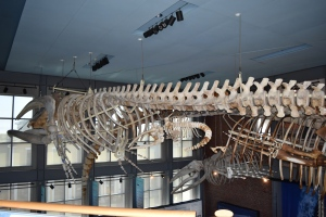 Right whale skeleton
