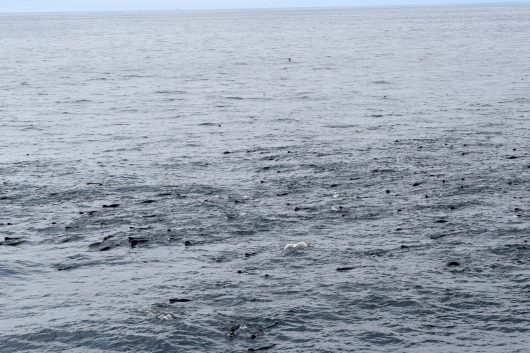 """Sea"" of seals off the starboard side.  Photo taken Friday the 21st."