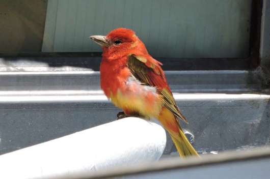 Summer Tanager sighted on the NOAA Henry B. Bigelow. Photo by Brad Toms