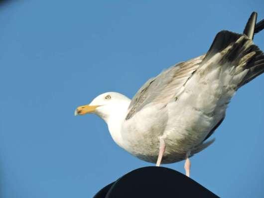 Herring Gull. Photo by: Brad Toms