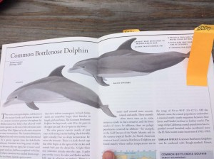 Common Bottlenose Dolphin. Photo taken by DJ Kast from the Marine Mammals of the World book.