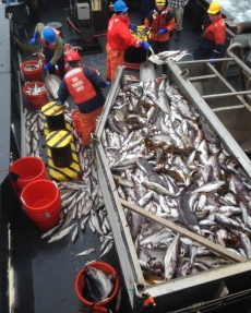 You can see the crew working to handling all of the fish we caught at Cashes Ledge.  How many different kinds of fish can you see?