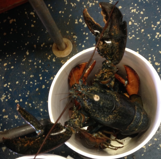 This is a large female lobster.  The claw on the right is called the crusher and the claw on the left is called the ripper.  For scale, consider that this lobster is inside a standard 5-gallon bucket!