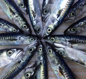 Last night we caught 1,700 kilograms of mackerel like these on the Scotian Shelf!
