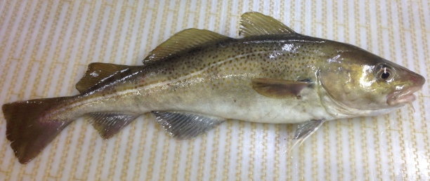 I find the pattern on this cod particularly striking.