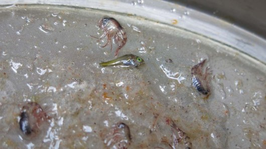 Larval Fish and Amphipods! Photo by: DJ Kast