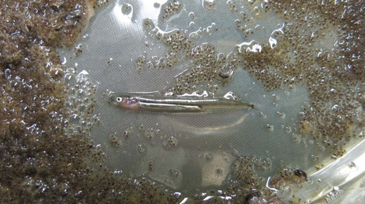 Small fish Larva. Photo by DJ Kast