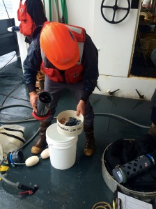 Curtis filters the cod-end of the neuston and finds a whole bunch of Vallela vallela.