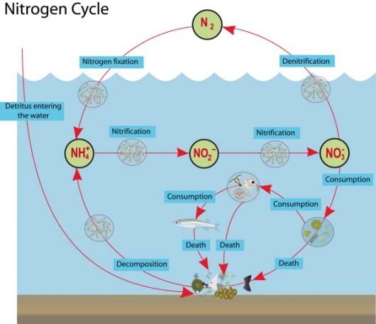 Nitrogen Cycle in the Ocean. Photo credit to: https://wordsinmocean.files.wordpress.com/2012/02/n-cycle.png