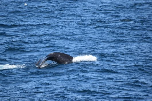 Right whale fluke and if you look closely you can see a round mark made by a cookiecutter shark.