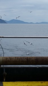 Here the birds are working off the stern of the boat