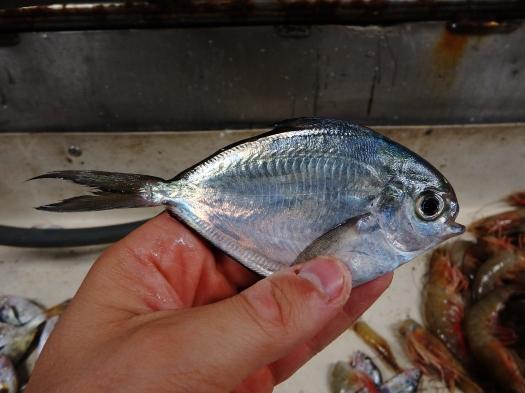 Gulf Butterfish (Peprilus burti)