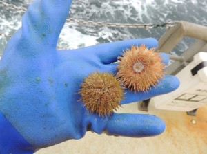 Sea urchins.  We catch many of these.  Zoom in on the one on the right.  Yeah, that's its mouth.  Life's at sea is tough!