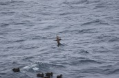 A group of black-footed albatross sit on the water while one flies.