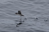 Pink-footed shearwater (Puffinus creatopus)