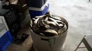 A catch of over 300 Menhaden