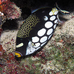 The clown triggerfish has some stunning markings -photo courtesy of NOAA