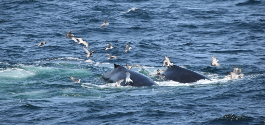 Two humpbacks.  Images collected under MMPA research permit #17355.