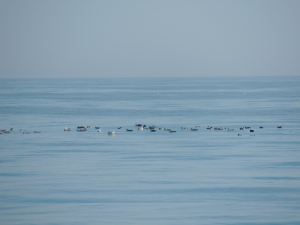This particularly large group of birds gathered together atop a downwelling, likely because the water helped keep them together (and because fishing would be good there!)