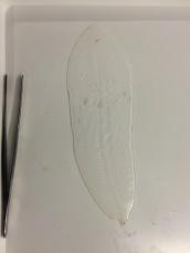 A Leptocephalus larvae of deep sea eel.