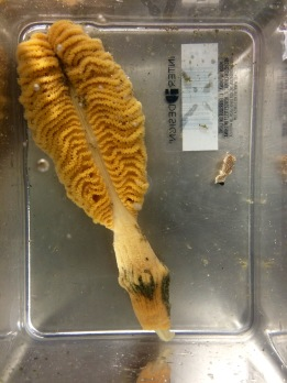 Sea pen (Pennatulacea) (left); Striped nudibranch which feeds exclusively on sea pens (right)