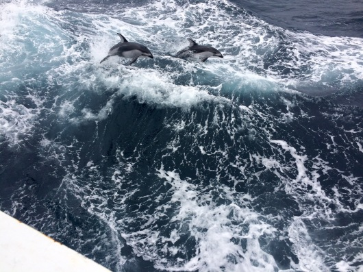 Pacific white-sided dolphins   ride the waves near our port stern, seemingly for the sheer joy of it.