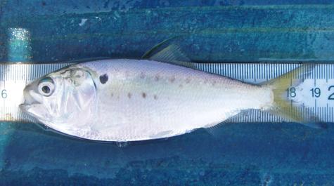 Gulf Menhaden