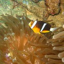 Orange-finned clownfish (NOAA)