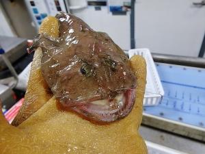 Reticulate Goosefish (Lophiodes reticulatus)
