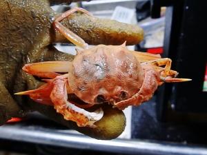 Gladiator Box Crab (Acanthocarpus alexanderi)