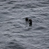 A pinniped, most likely a Steller sea lion (Eumetopias jubatus)