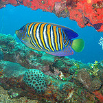 Regal angelfish (NOAA)