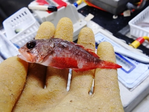 Smoothhead Scorpionfish (Scorpaena calcarata)