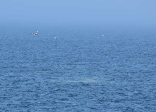 Whale poop (strangely colored area) from a fin whale.   Images collected under MMPA research permit #17355. These photos are cropped images of photographs taken with a telephoto lens.