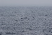A pair of humpback whales (Megaptera novaeangliae) travel together.