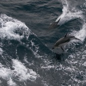 Pacific white-sided dolphins (Lagenorhynchus obliquidens)
