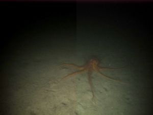 An octopus that we saw on the DropCam