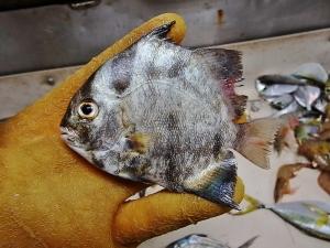 Atlantic Spadefish (Chaetodipertus faber)