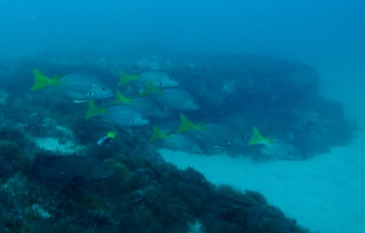 blackfin snapper swimming near trap